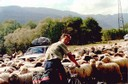 Овцы на дороге